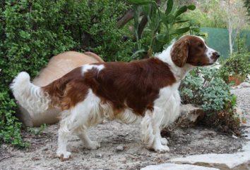 Cocker Spaniel Inglês: uma descrição da raça. cão natureza, conteúdo e treinamento