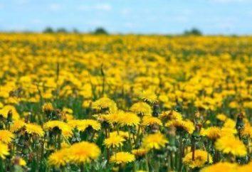 Odżywcze i lecznicze właściwości kwiatów mniszka lekarskiego