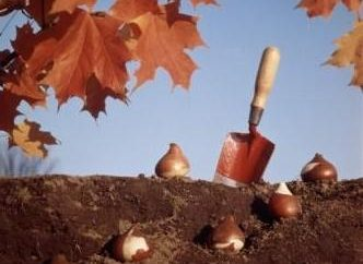 La plantation des tulipes à l'automne: les termes, règles, recommandations