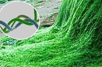 Spirulina – o que é e quais são suas propriedades?