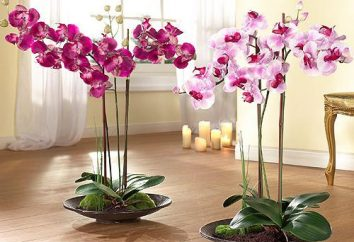 orchidee phalaenopsis suolo per un bisogno?