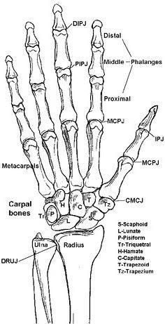 le squelette d 39 une main humaine la structure squelette humain de la main. Black Bedroom Furniture Sets. Home Design Ideas