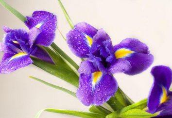 Beschreibung, Eigenschaften und Wert Farben. Iris