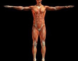 Glatten und quergestreiften Muskelgewebe
