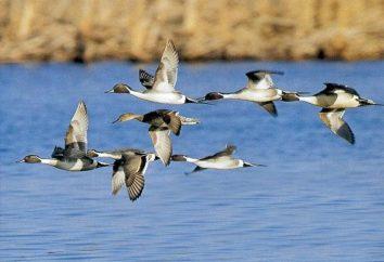 caça outono patos – quando os filhotes têm crescido mais forte