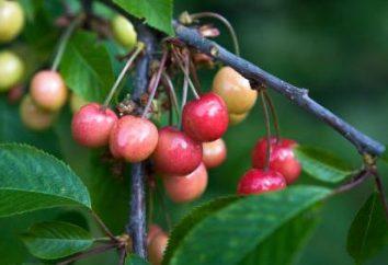 Questões jardineiros: como crescer cerejas dos ossos