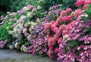 Hortensja Pink Lady: opis i opinie