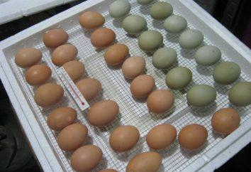 Wie das Ei in den Inkubator wählen? Legen Eier im Inkubator