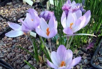 Quando piantare crochi – autunno o in primavera?