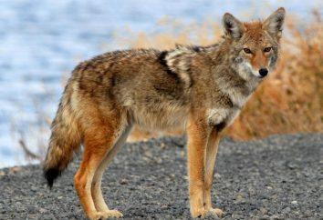 Najszybsze zwierzęta na planecie: tuzin liderów