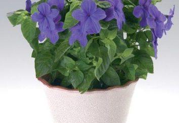 """Flower """"Bride"""" – ciekawa roślina, lepiej rozwijać """"Oblubieńca"""""""