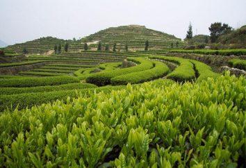 chá Oolong: os benefícios e malefícios. Chá Oolong – o que é?
