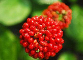Ginseng: propiedades útiles y contraindicaciones críticas
