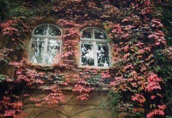 Inizio uve girlish: semina e la cura