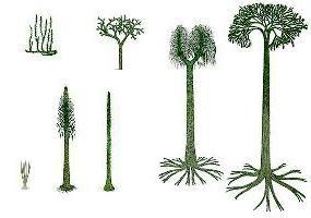 Lycopodium Clavatum: ciclo, la estructura de la vida y la reproducción