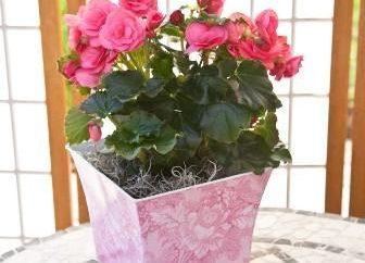 Come prendersi cura di begonie in vaso. Alcuni consigli