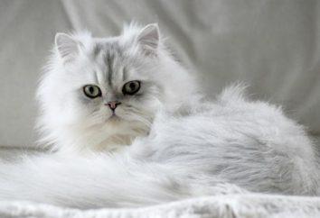 Złoto szynszyli (cat). Kot rasy szynszyli