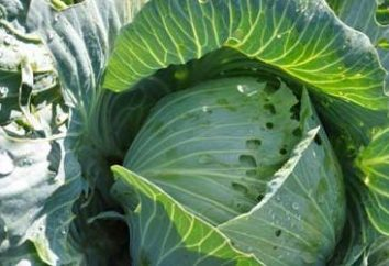 Dicas jardineiro: como é o tratamento repolho contra pragas