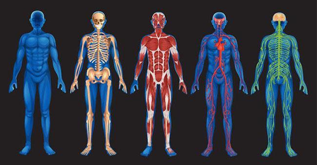 Was ist der Körper genannt? Organismus: Definition