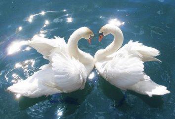 Cisne fidelidad, y la gente del mundo de buena voluntad