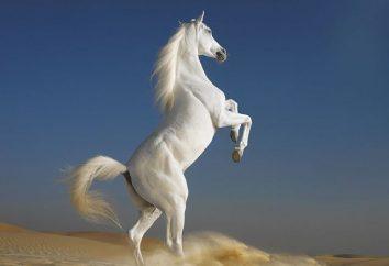 ¿Por qué soñar con un caballo blanco? Usted sea a caballo o debajo de ella?