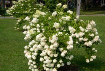 """Hydrangea """"grandiflora"""" – arbusto riccamente fiorito per il vostro giardino"""
