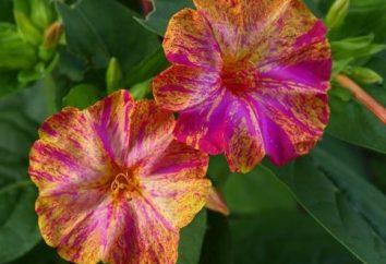 Notte di bellezza – la coltivazione di fiori non è difficile