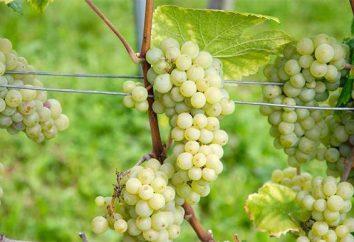 Stand Uva: descrizione grado, le caratteristiche di base e le caratteristiche di coltivazione