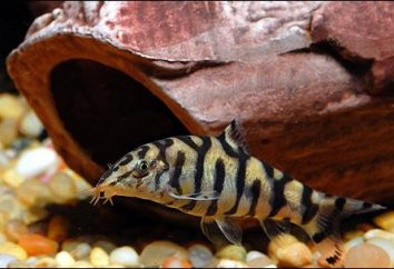poissons Loach – survivant aquarium