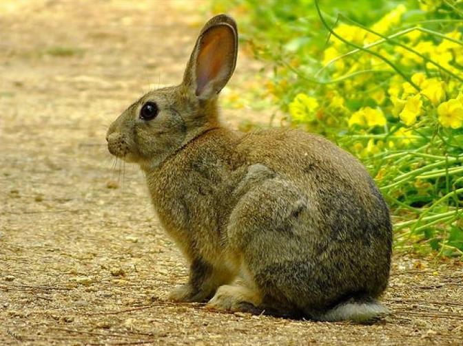 Populaire lapin sauvage dans la nature: description, photo TH56