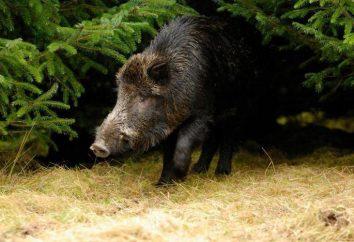 maior javali do mundo: a incrível história dos porcos selvagens