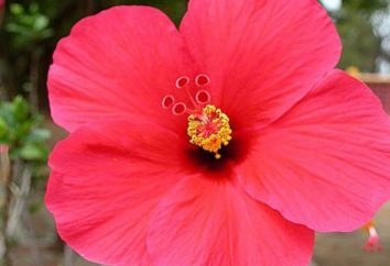 Hibiscus, ou China subiu: o cultivo e cuidados