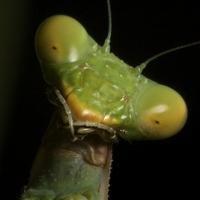 mantis macho y hembra