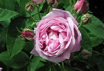Aphids on rose – come affrontare questo pestello
