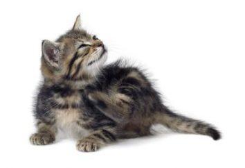 ¿Cómo deshacerse de las pulgas en gatos: métodos eficaces de control y prevención