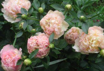 Sorbetto di peonia: un lussuoso uomo bello di medio fiore