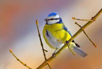 Eurasian Blue Tit: descrizione, habitat, riproduzione