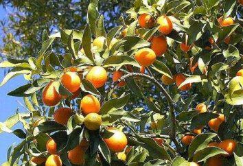 Przydatne właściwości kumkwat: wszechstronny owoce