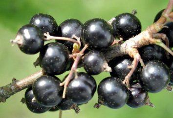 Perché non fruttificazione mora? Quanto utile questa bacca?