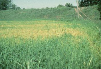 Trawy pastewne: opis