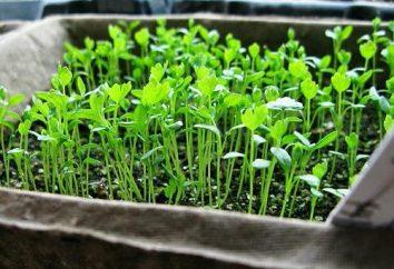 Come crescere la radice di sedano