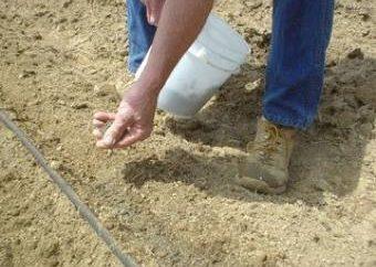 Lorsque vous démarrez les carottes de semis au printemps? Plantation de semis jardiniers civils