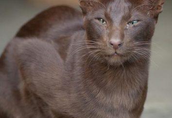 La Habana – un gato con un aspecto encantador y carácter perfecto
