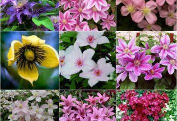 Sorten von Clematis. Clematis Brand: Pflanzen, die richtige Pflege, Foto
