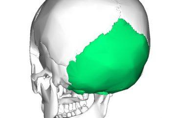 Osso occipitale del teschio umano e animale: foto e struttura