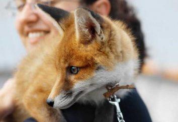 la maison Fox: caractéristiques et conditions de détention. Le comportement des renards comme animaux de compagnie