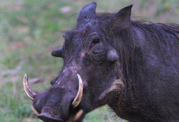 Wspólne Warthog: opis, zdjęcia, życie w środowisku naturalnym