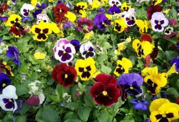 Bratki: sadzenie i pielęgnacja kwiat wiosny