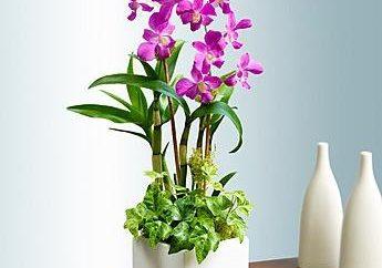Bella orchidea Dendrobium. Assistenza a domicilio