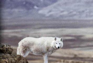 Specie e sottospecie di lupi. Tundra lupo: panoramica, le caratteristiche e l'ambiente